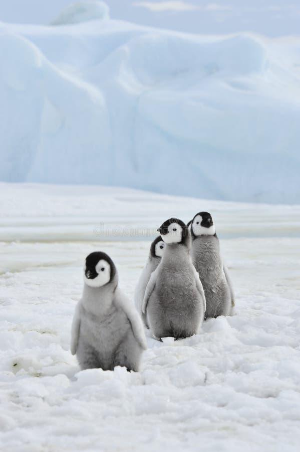 Pintainhos dos pinguins de imperador imagem de stock