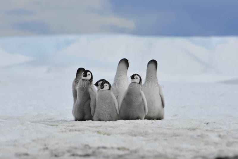 Pintainhos dos pinguins de imperador imagem de stock royalty free