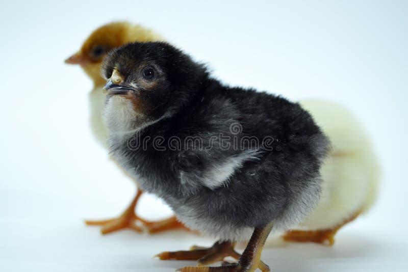 Pintainhos isolados em galinhas pequenas do fundo branco imagens de stock royalty free