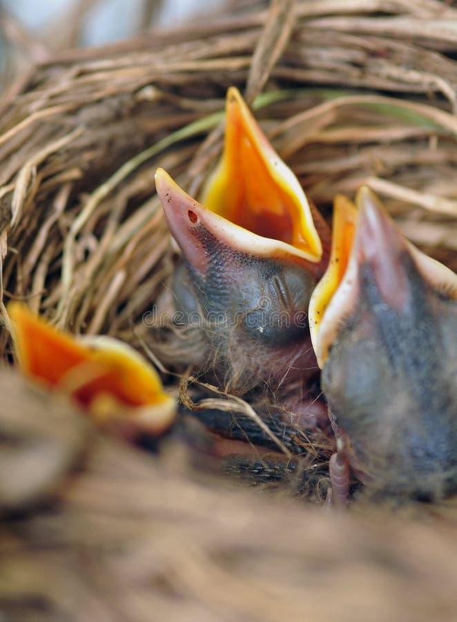 Pintainhos no ninho dos pássaros imagem de stock