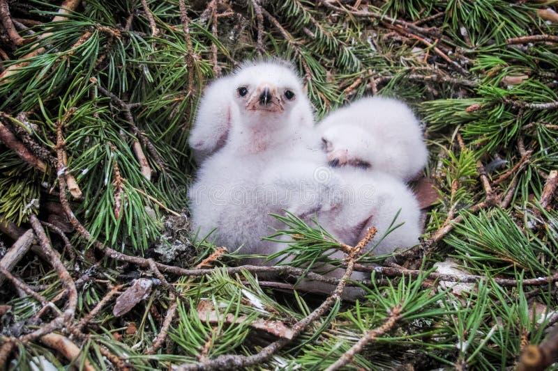 Pintainhos pequenos do falcão do goshawk em seu ninho imagens de stock royalty free