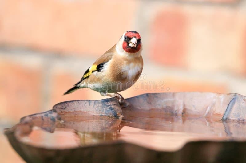 Pintassilgo sentado no banho do pássaro foto de stock