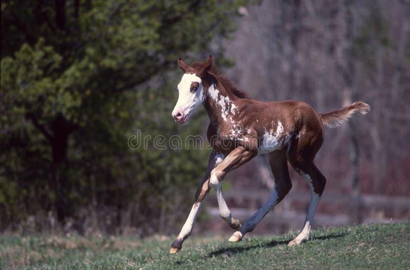 Pinte el potro del caballo imagenes de archivo
