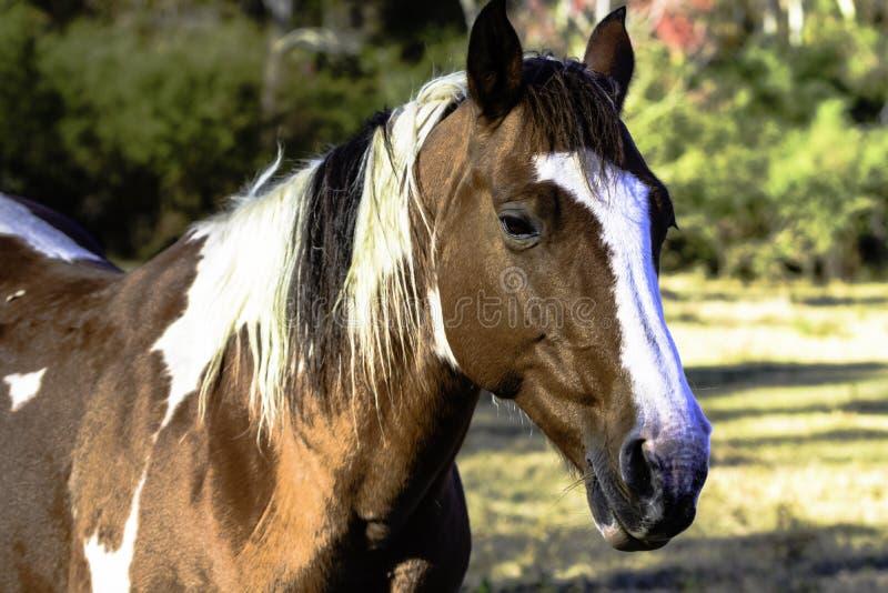 Pinte la opinión de tres cuartos de la cabeza de caballo foto de archivo
