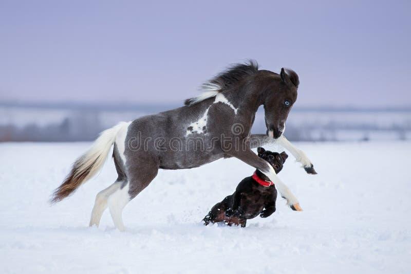 Pinte o cavalo diminuto que joga com um cão no campo de neve imagens de stock