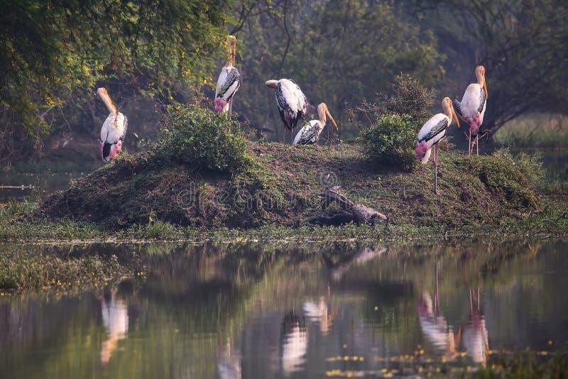 Pinted storks Mycteria leucocephala in Keoladeo Ghana Nationa. L Park, Bharatpur, Rajasthan, India. The park is a World Heritage Site royalty free stock image