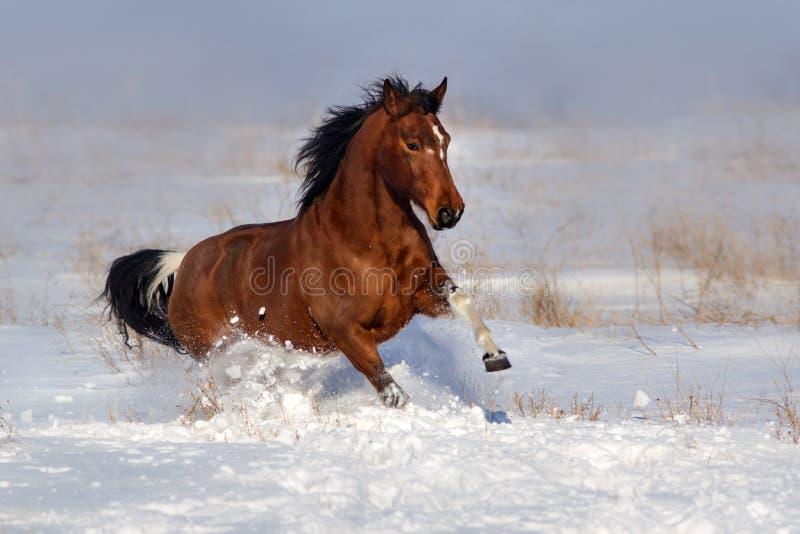 Pinto άλογο που οργανώνεται στο χειμερινό τομέα στοκ εικόνα