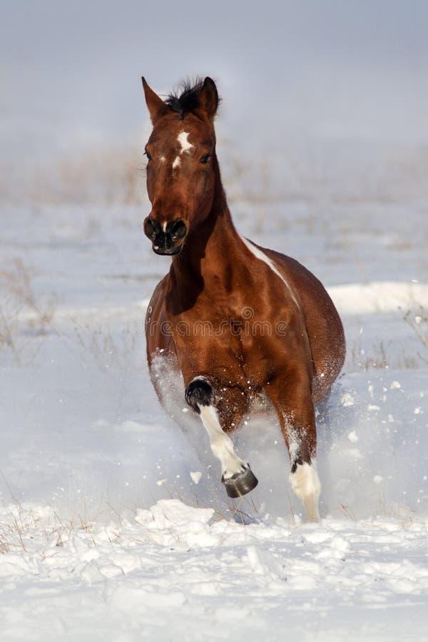 Pinto άλογο που οργανώνεται στο χειμερινό τοπίο στοκ εικόνες με δικαίωμα ελεύθερης χρήσης