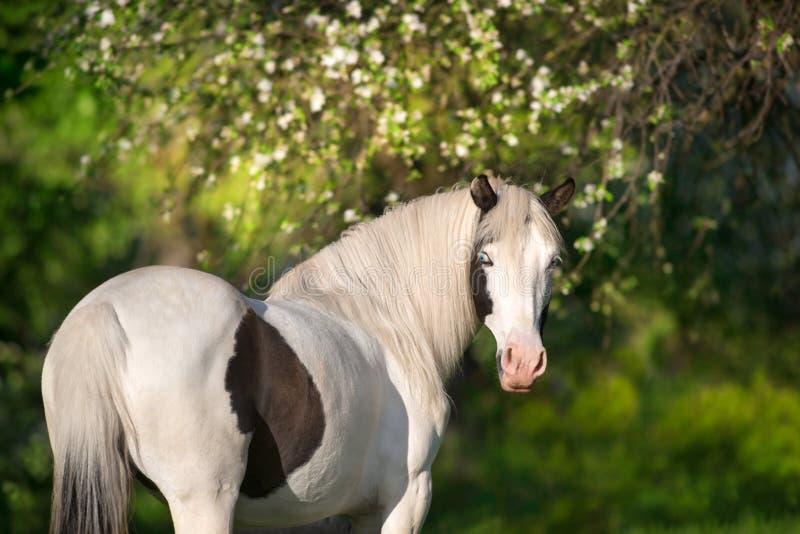 Pinto άλογο στο άνθος στοκ φωτογραφίες με δικαίωμα ελεύθερης χρήσης
