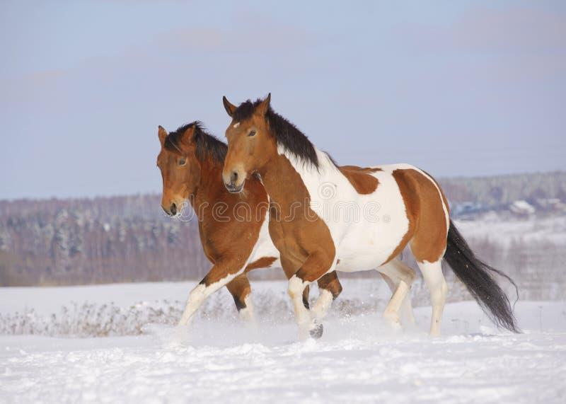 pinto αλόγων χειμώνας στοκ φωτογραφία με δικαίωμα ελεύθερης χρήσης