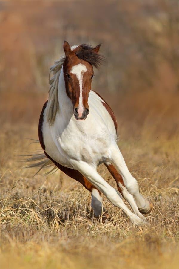 Pinto τρέξιμο αλόγων στοκ φωτογραφία