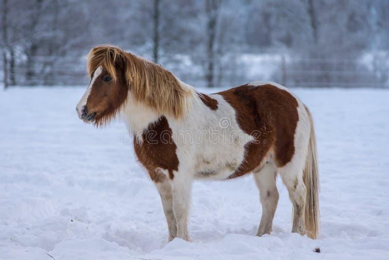 Pinto farbiges isländisches Pferd, das im Schnee steht stockbilder