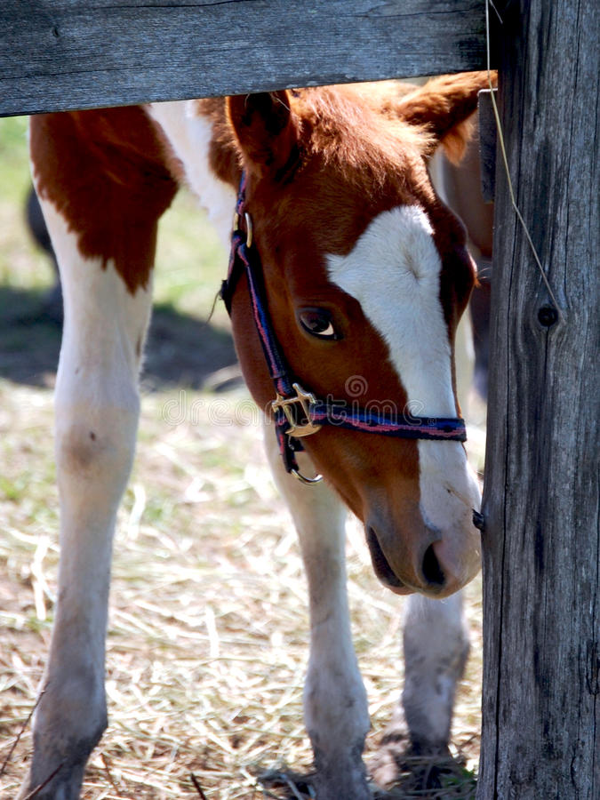 Free Pinto Foal Stock Photography - 19586792