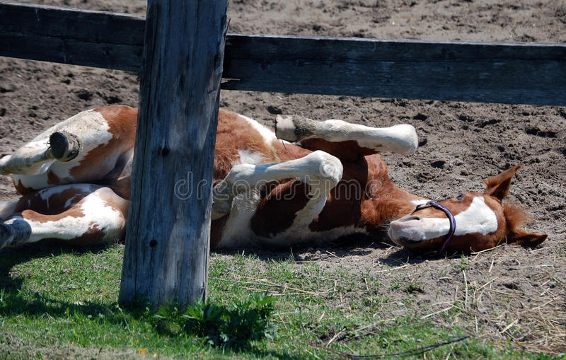 Pinto Foal Playing stock photography