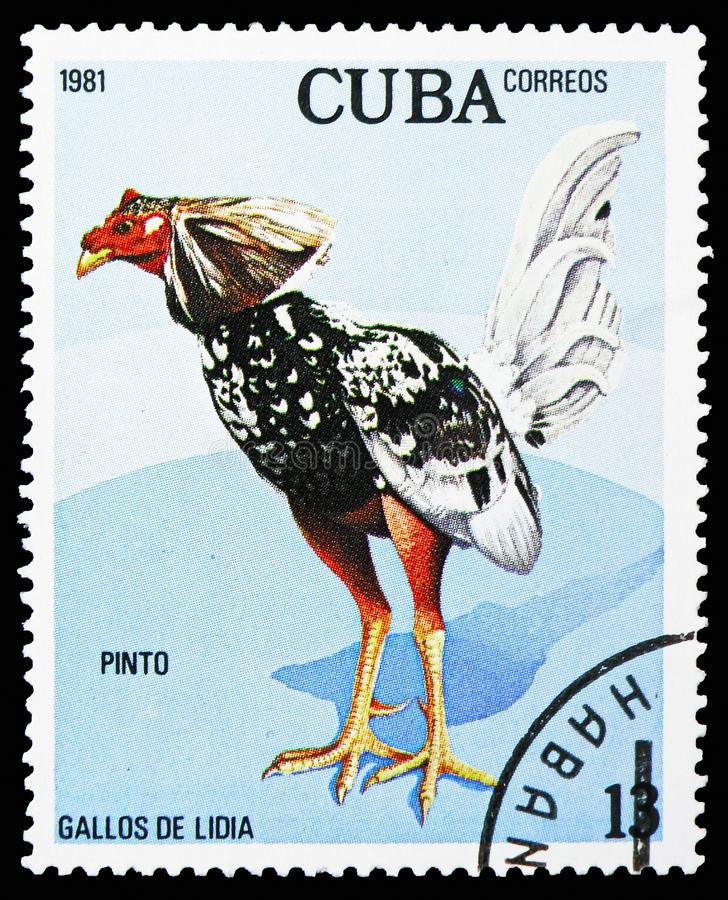 Pinto (Gallus gallus domesticus), Fighting serie, circa 1981. MOSCOW, RUSSIA - OCTOBER 21, 2018: A stamp printed in Cuba shows Pinto (Gallus gallus domesticus) stock photo