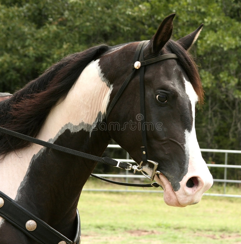 Download Pinto Gelding stock photo. Image of horse, fence, portarit - 1079138