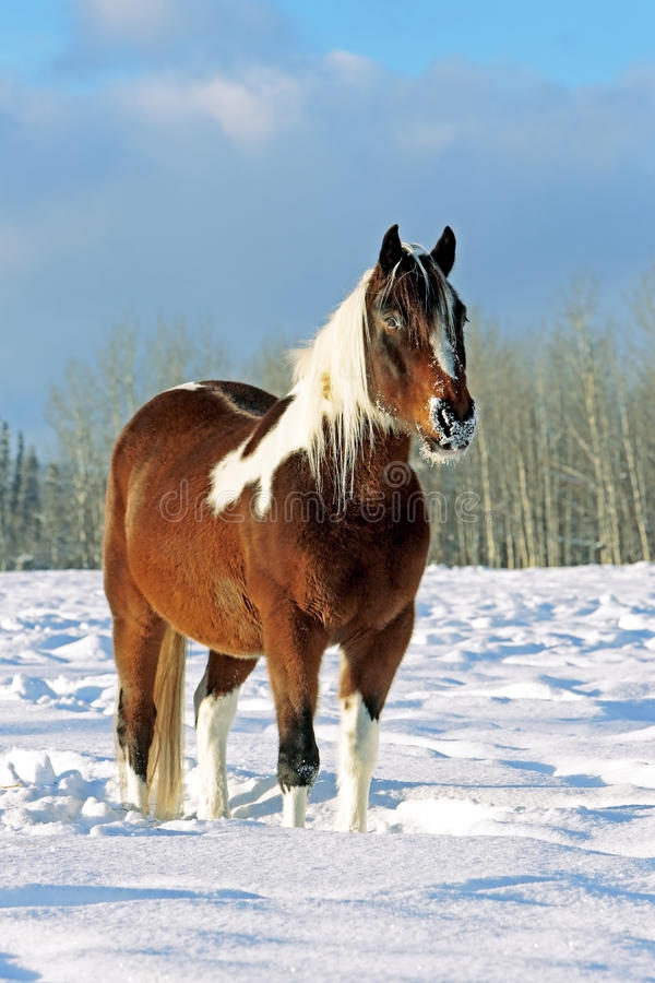 Pinto Horse images stock