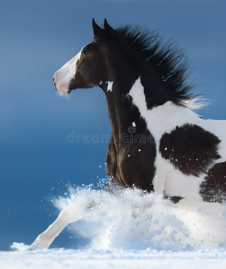 Pinto horse gallops across a winter snowy field. Side view. Close up royalty free stock image