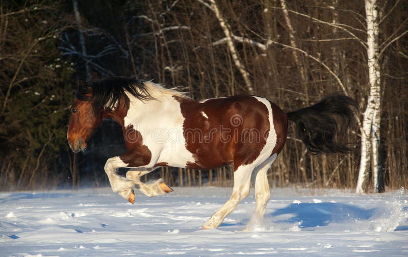 Pinto horse. Playful pinto draft horse running in snowy field royalty free stock photos