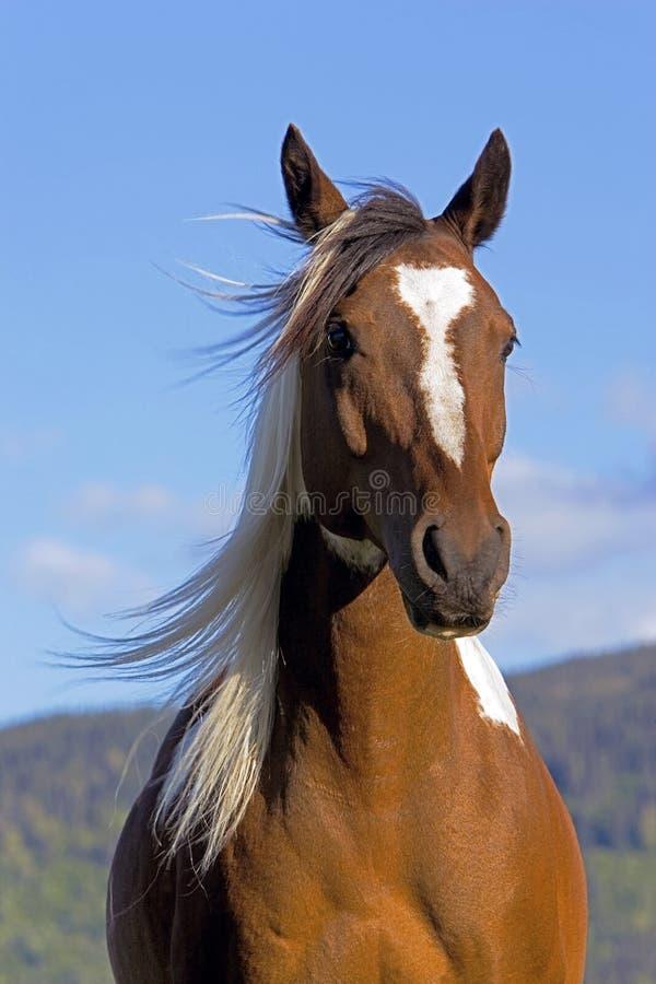 Pinto Horse sauvage photos libres de droits