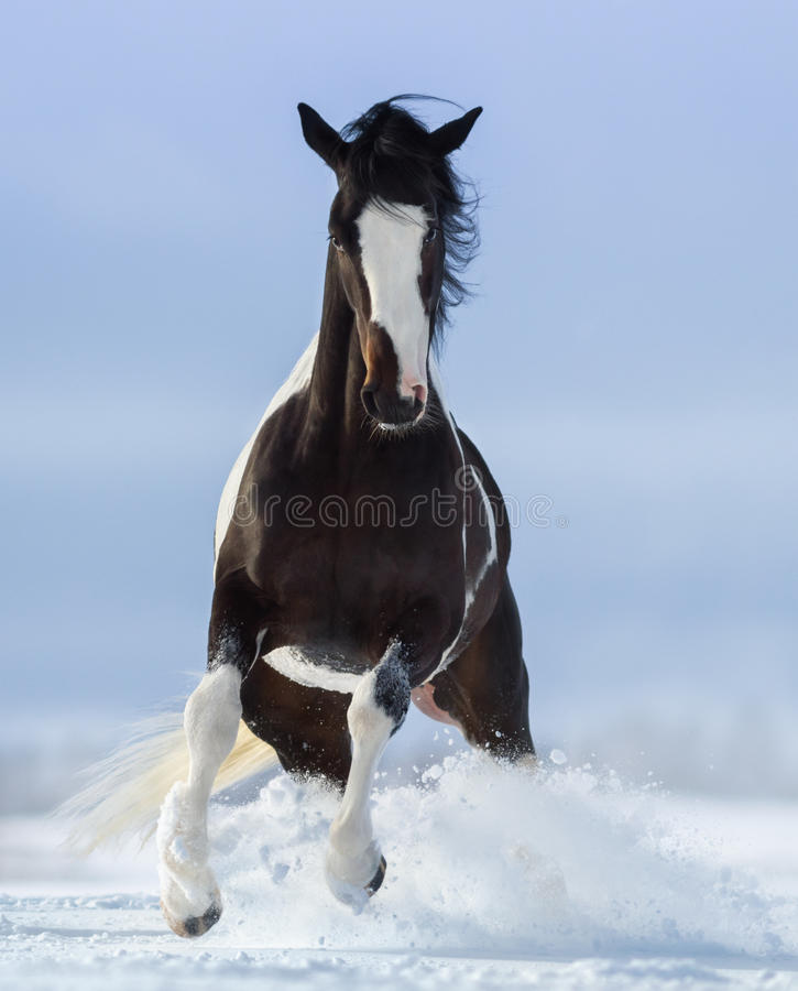 Pinto horse on snowfield. Front view royalty free stock images