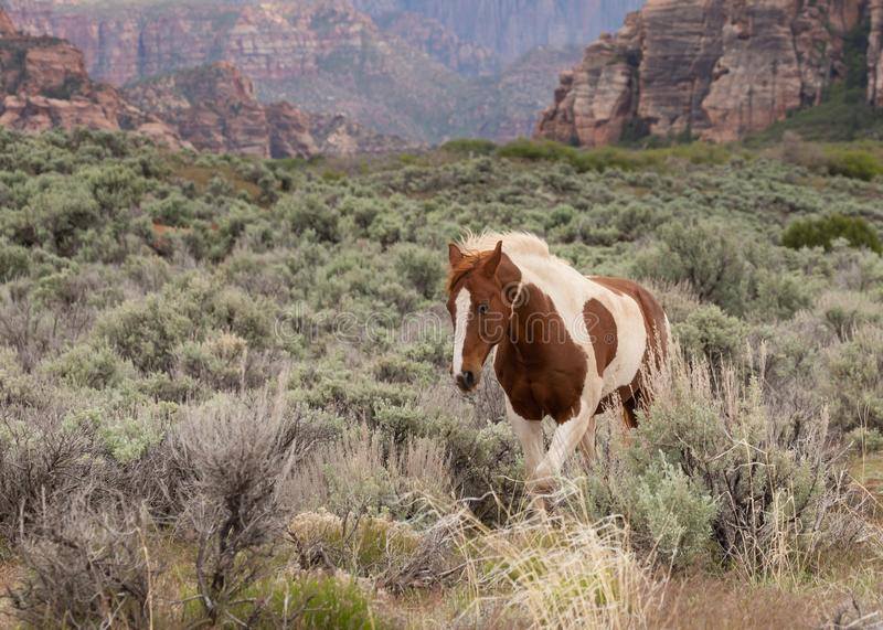Pinto horse trotting through the sagebrush stock photo