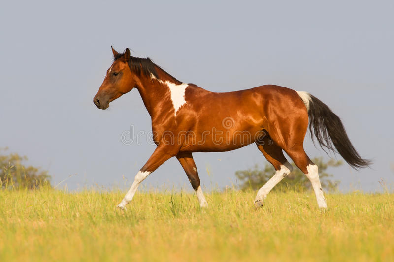 Pinto horse trotting in summer field. Beautiful pinto running away in nature stock photo