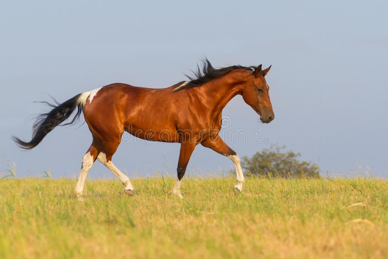 Pinto horse trotting in summer field. Beautiful pinto running away in nature stock photos