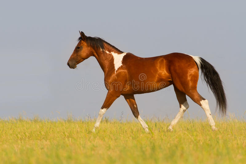 Pinto horse trotting in summer field. Beautiful pinto running away in nature stock photography