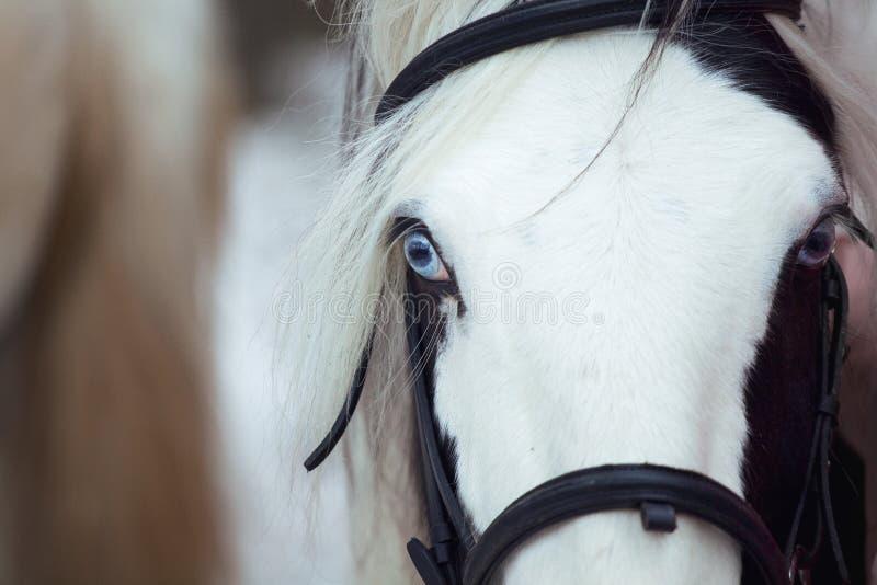 Pinto mit blauen Augen stockfotos