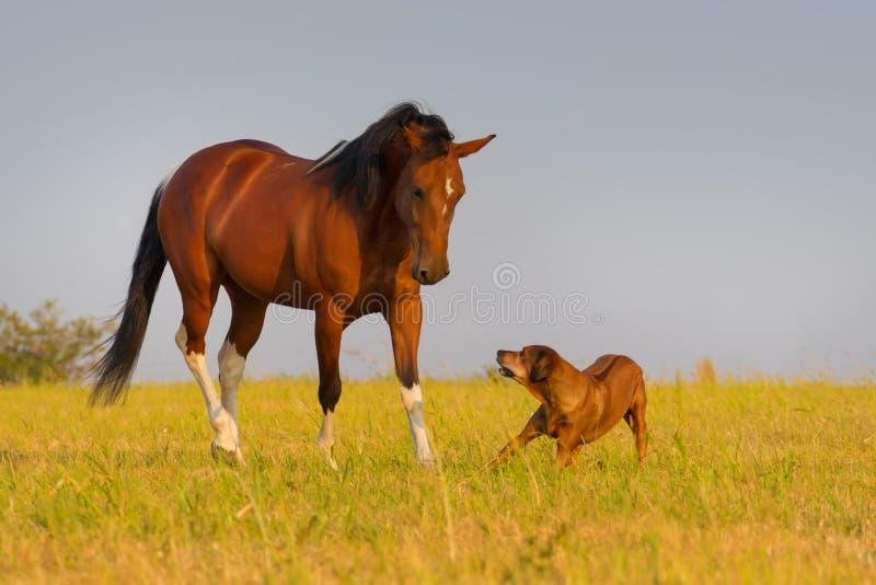 Pinto paardspel met hond stock afbeeldingen