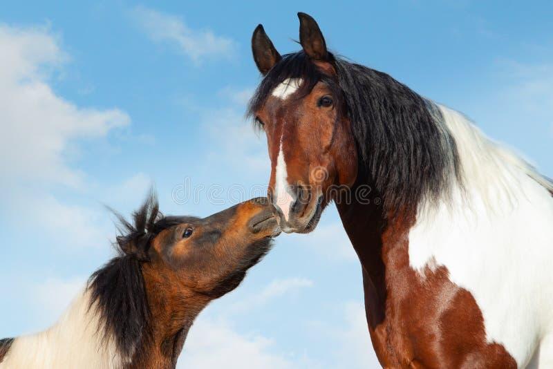 Pinto Pony kisses big saddle horse stock photos