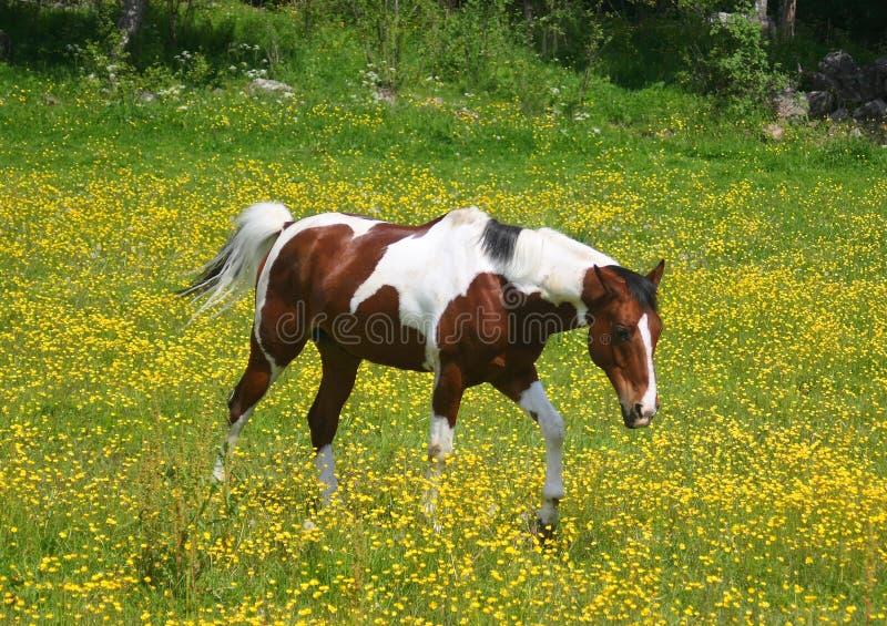 Pintopferd auf einem gelben Gebiet stockbilder