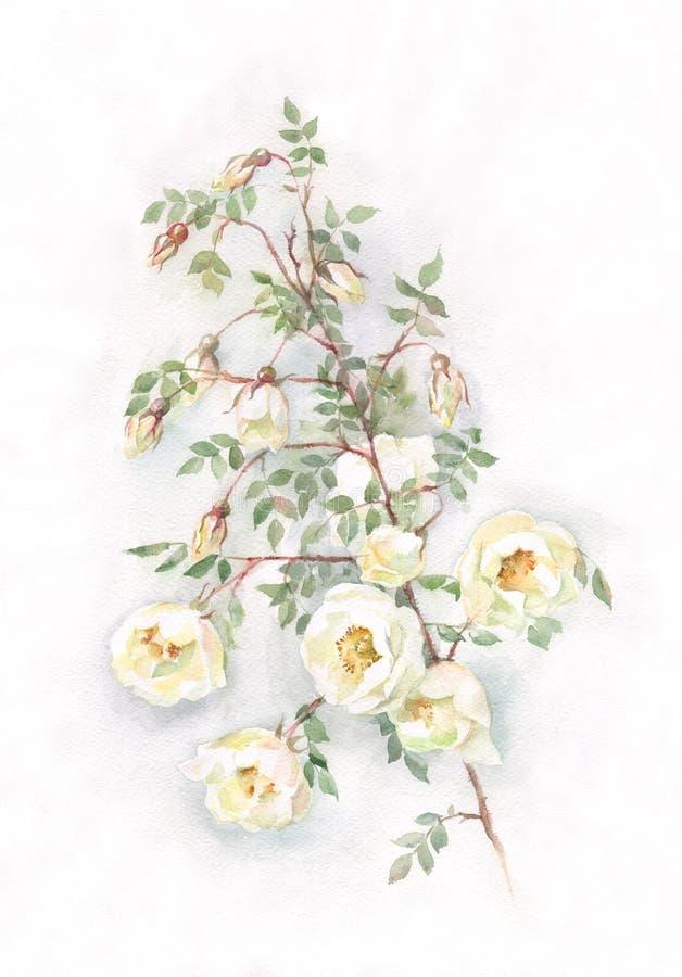 Pintura branca selvagem da aguarela das rosas ilustração stock