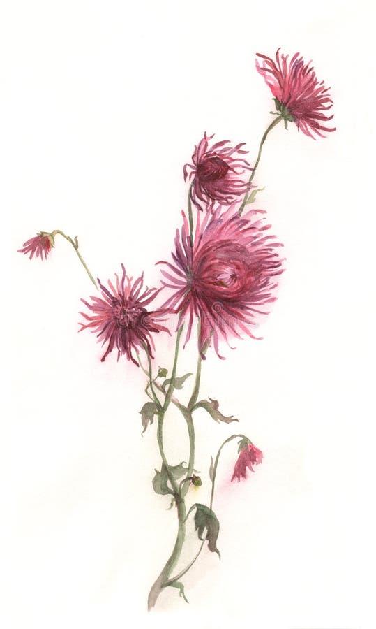 Pintura carmesim da aguarela da flor do crisântemo ilustração royalty free