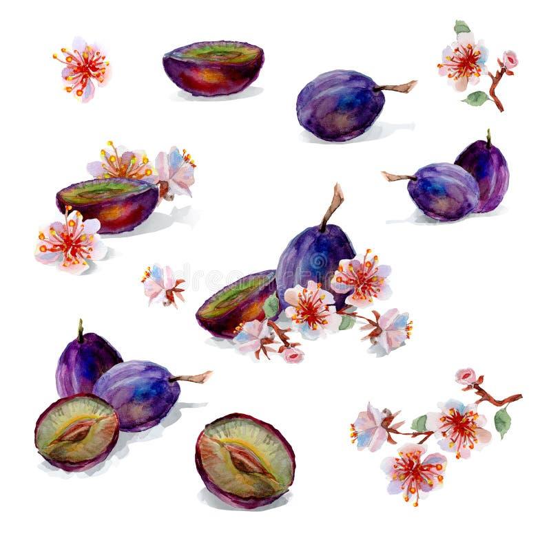 Pintura da aguarela Ameixas e flores ilustração do vetor