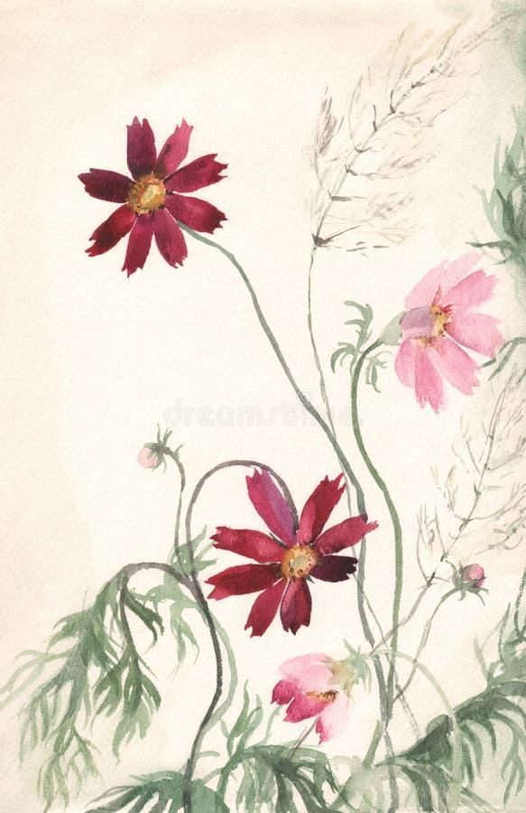 Pintura da aguarela de Cosmea ilustração do vetor