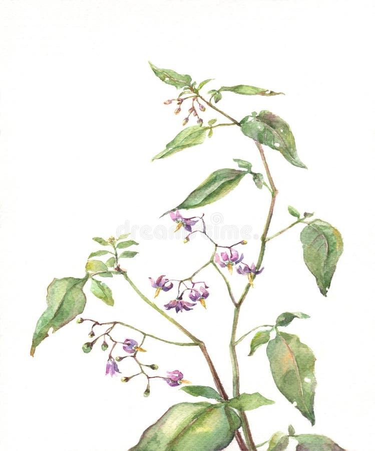 Pintura da aguarela do Nightshade ilustração do vetor