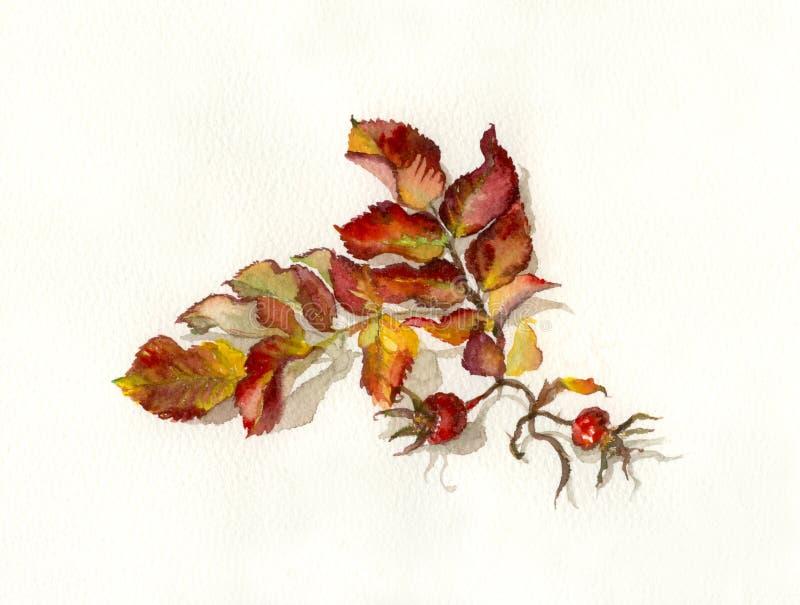 Pintura da aguarela dos Rosehips ilustração royalty free