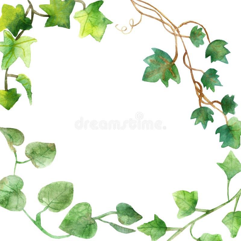 Pintura da aquarela das folhas verdes da hera isoladas em um fundo branco Ilustração pintado à mão da aquarela Teste padrão verde foto de stock