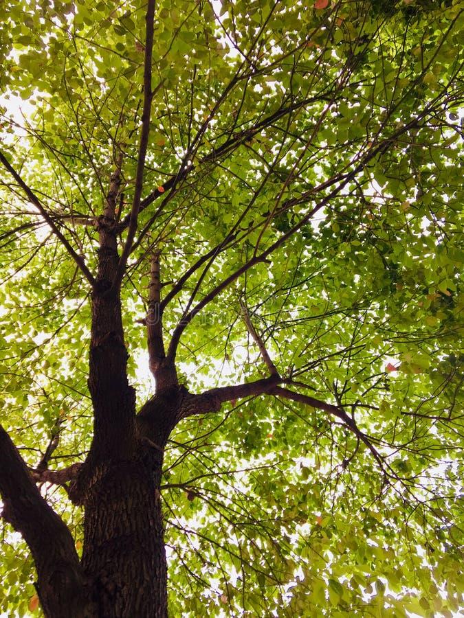 Pintura da aquarela pela árvore de cânfora foto de stock
