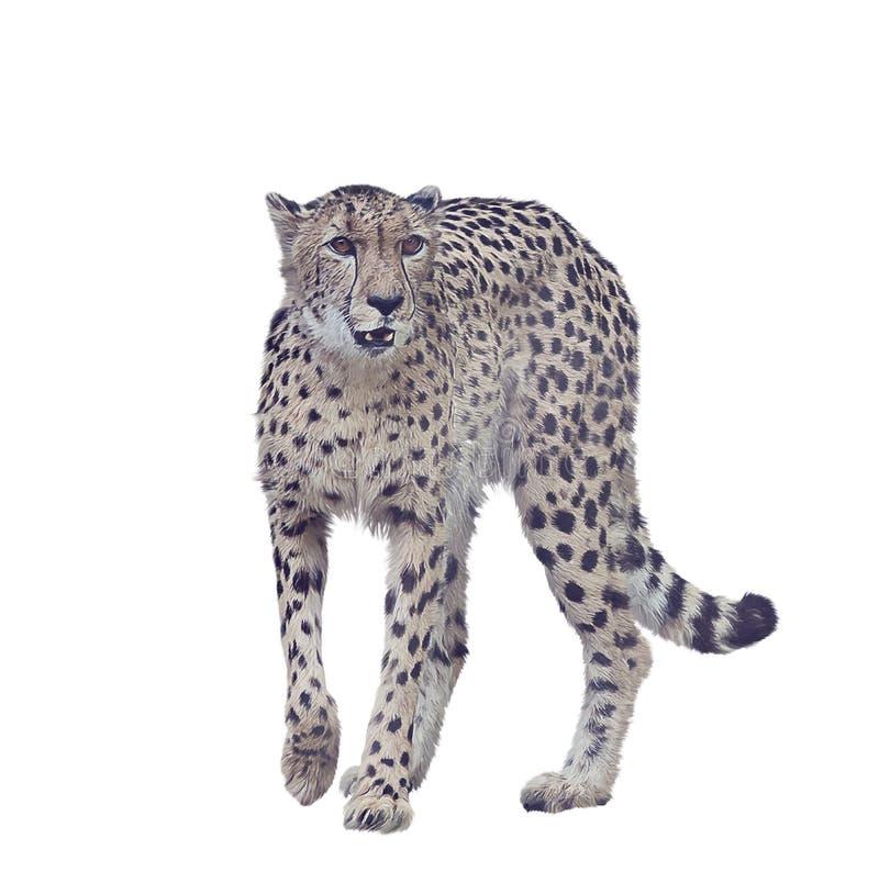 Pintura de Digitaces del guepardo en el fondo blanco fotografía de archivo libre de regalías