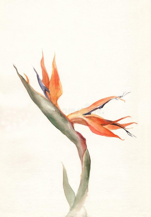 Pintura de la acuarela de la flor del Strelitzia stock de ilustración