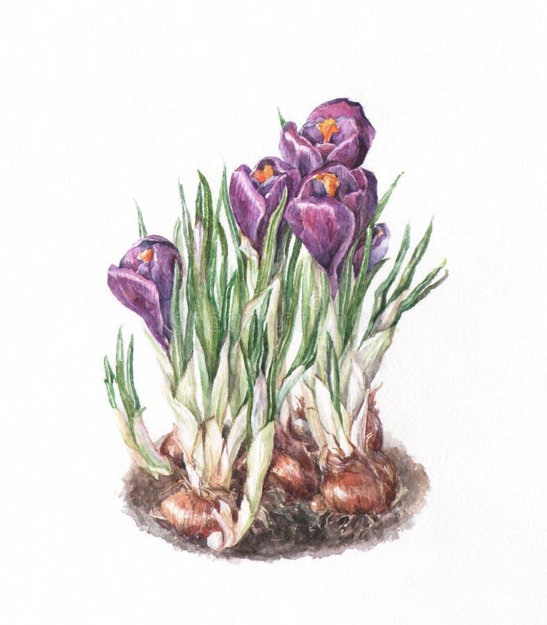 Pintura de la acuarela del azafrán stock de ilustración
