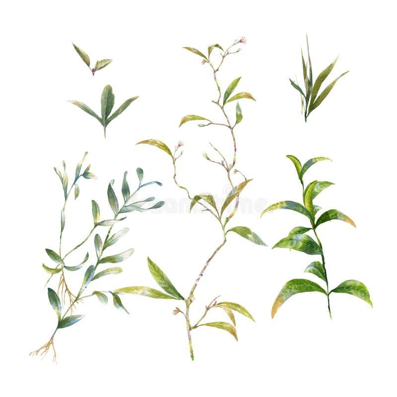 Pintura de la acuarela del ejemplo de las hojas en blanco libre illustration