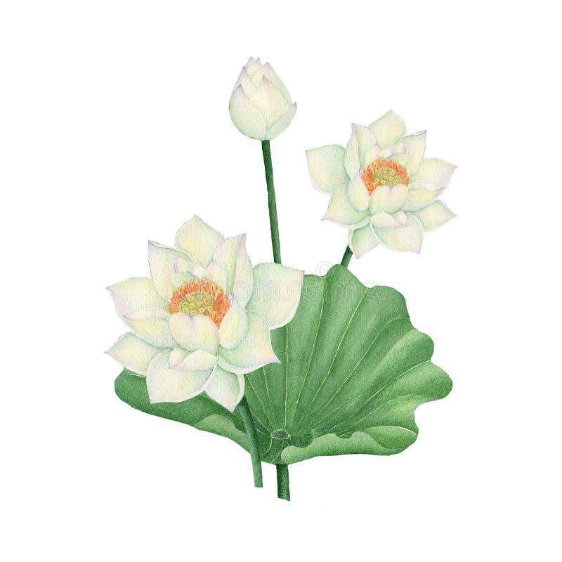 Pintura de la acuarela del ejemplo de Lotus Flower Acuarela pintada a mano ejemplo de Lotus Flower aislada ilustración del vector