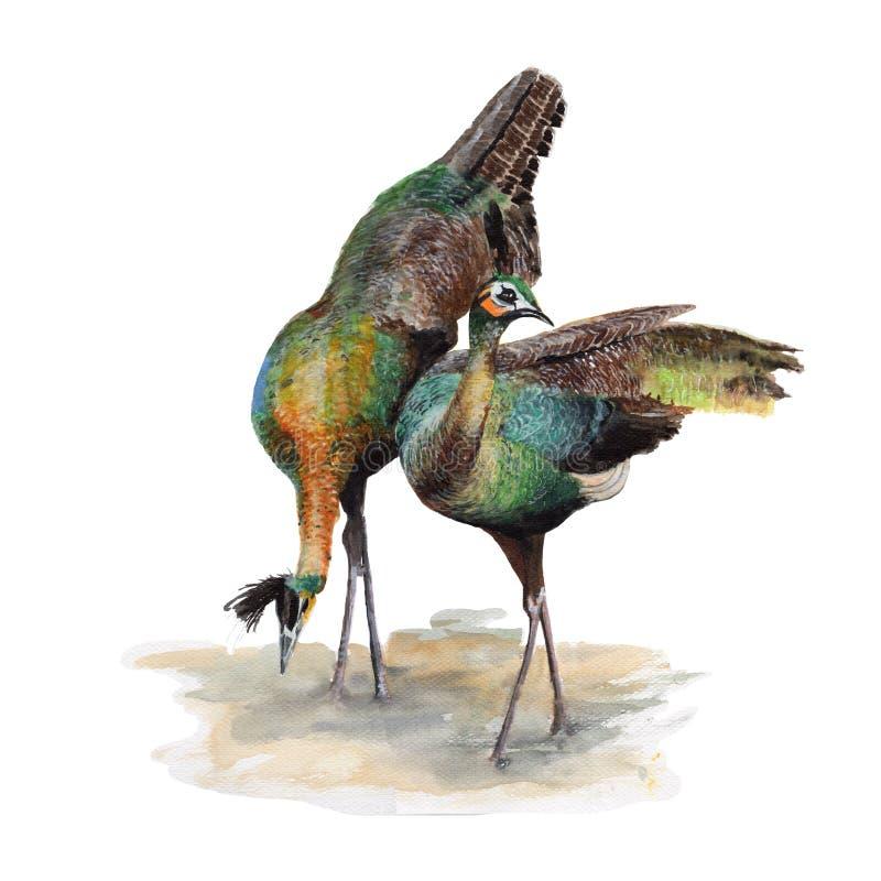 Pintura de la acuarela del ejemplo del pavo real Acuarela pintada a mano ejemplo de un pavo real aislado ilustración del vector