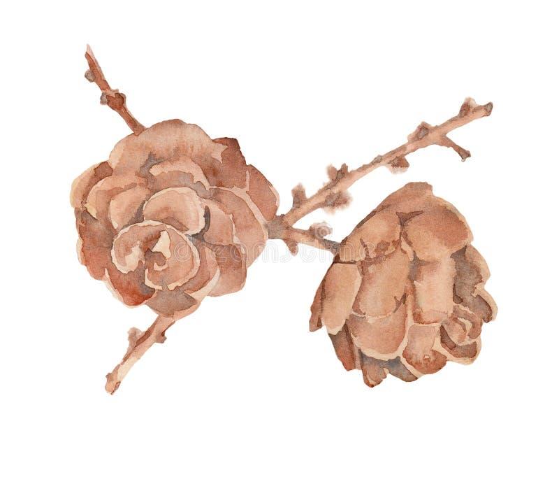 Pintura de la acuarela de dos conos abiertos maduros de alerce en un branc stock de ilustración