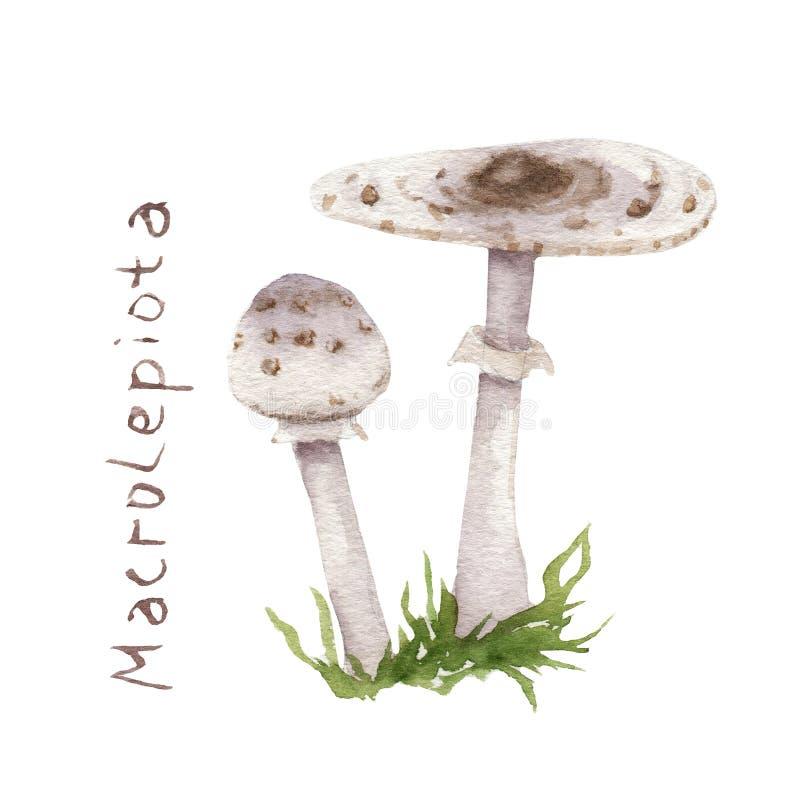 Pintura de la acuarela de la seta comestible - paraguas de Macrolepiota ilustración del vector