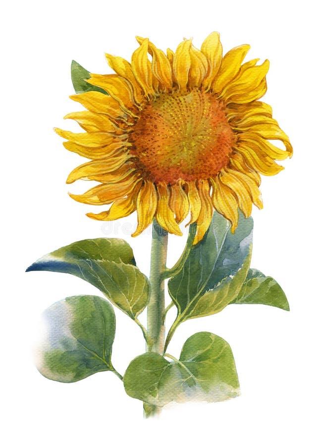 Pintura do amarelo, flor da ilustração da aquarela, girassol foto de stock royalty free